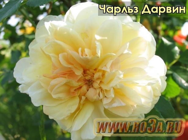 Роза Charles Darwin Чарльз Дарвин