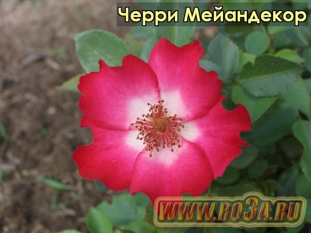 Роза Cherry Meilland Черри Мейандекор