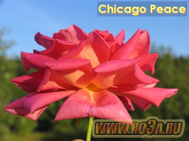 Роза Chicago Peace Чикаго Пис Johnago</li>