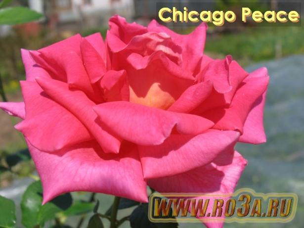 Роза Chicago Peace Чикаго Пис