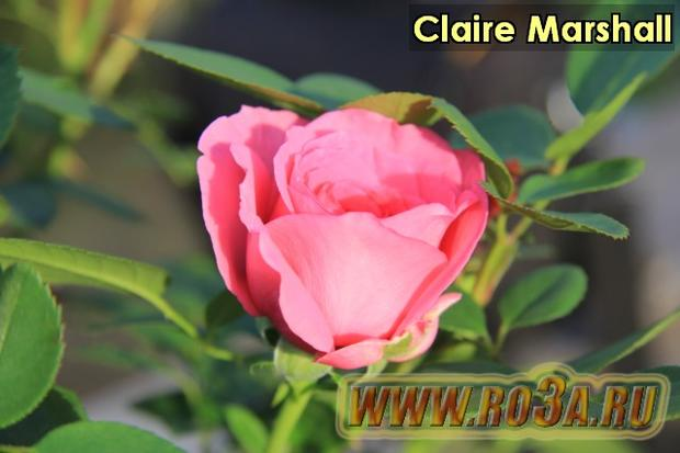 Роза Claire Marshall Клэр Маршал