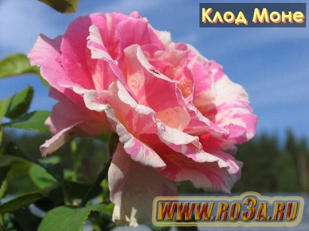 Роза Claude Monet Клод Моне