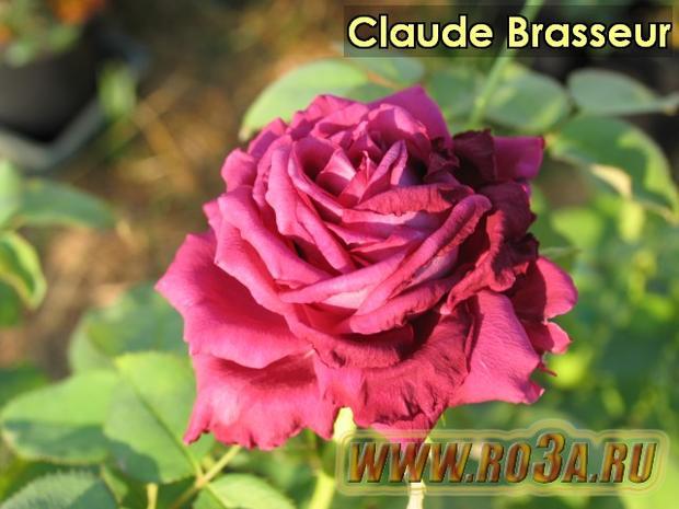 Роза Claude Brasseur Клод Брассер