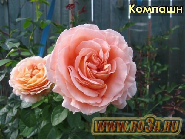 Роза Compassion Компашн