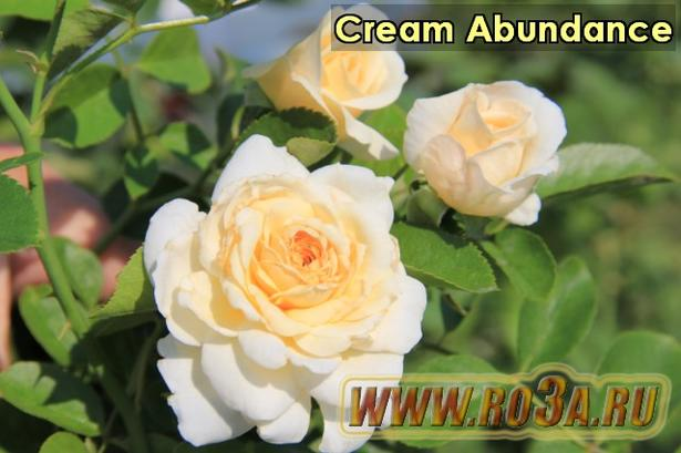 Роза Cream Abundance Крем Абунданс