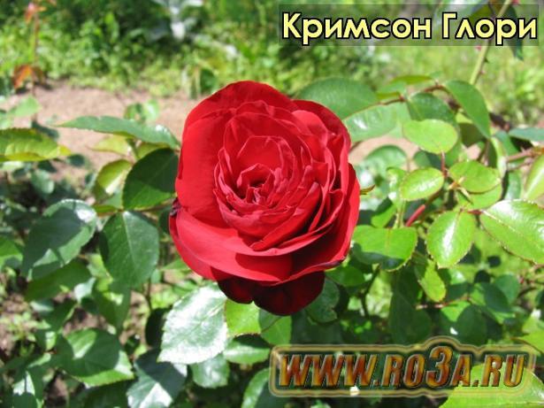 Роза Crimson Glory Кримсон Глори