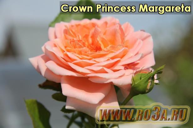 Роза Crown Princess Margareta Кроун Принцесса Маргарит
