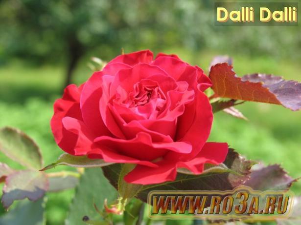 Роза Dalli Dalli Дали Дали
