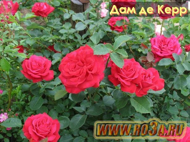Роза Dame de Coeur Дам де Керр