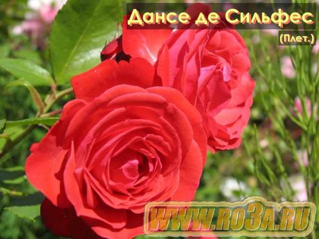 Роза Danse des Sylphes Дансе де Сильфес