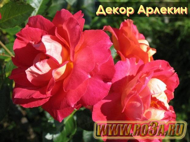 Роза Decor Arlequin Декор Арлекин (Полуплетистая)