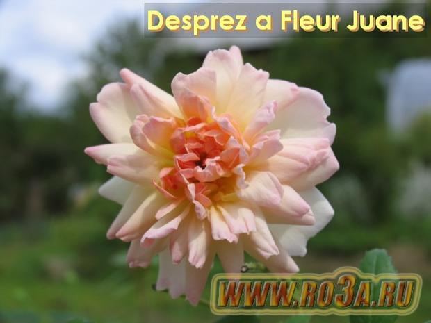 Роза Desprez a Fleur Juane Диспрез
