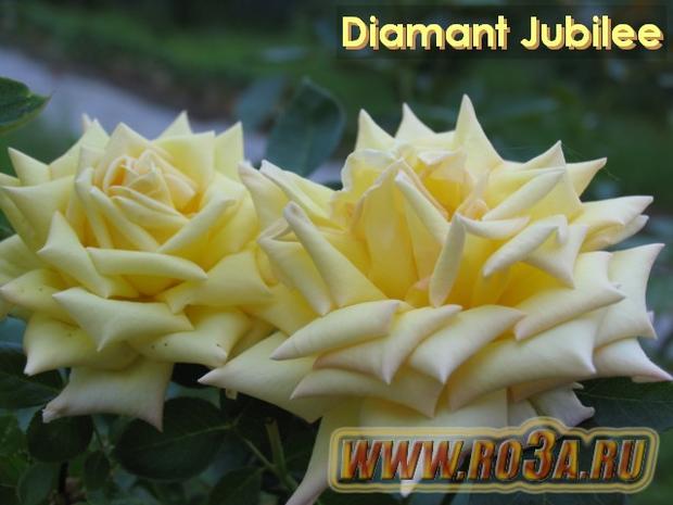 Роза Diamant Jubilee Бриллиантовый Юбилей