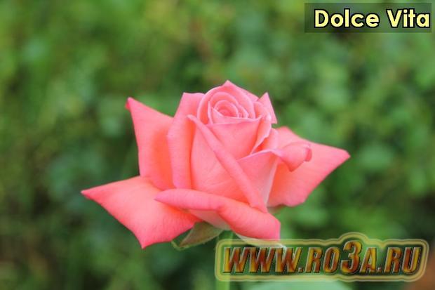 Роза Dolce Vita Дольче Вита