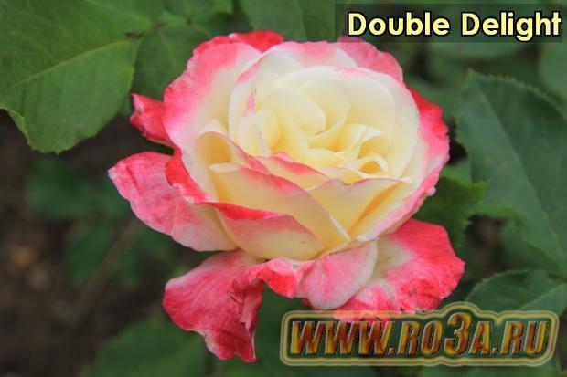 Роза Double Delight Дубль Делайт