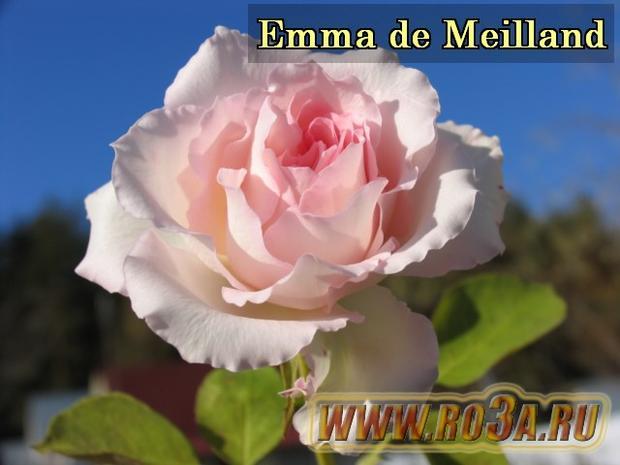 Роза Emma de Meilland Эмма Мейян