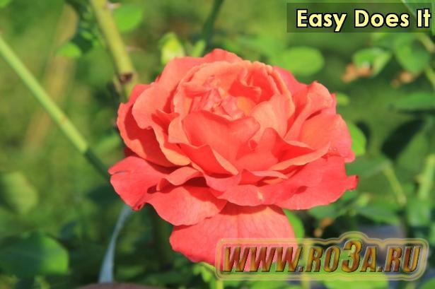 Роза Easy Does It Изи даз Ит