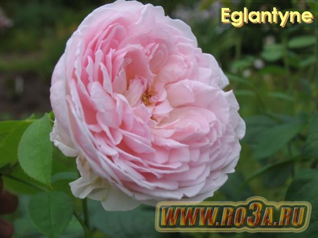 Роза Eglantyne Эглантин
