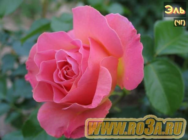 Роза Elle Эль