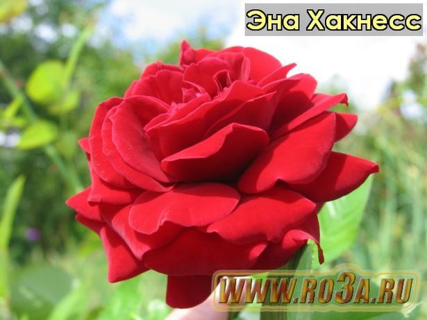 Роза Ena Harkness Эна Хакнесс