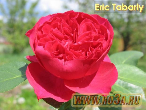 Роза Eric Tabarly Эрик Таберли