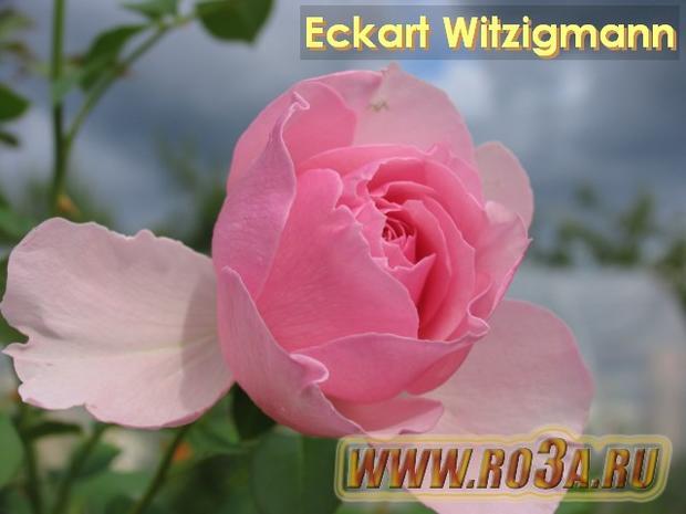 Роза Eckart Witzigmann Экарт Витцигманн