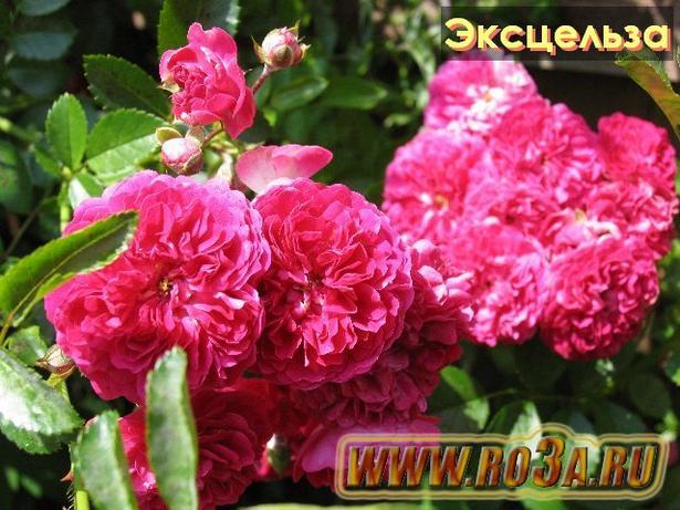 Роза Excelsa Эксцельза
