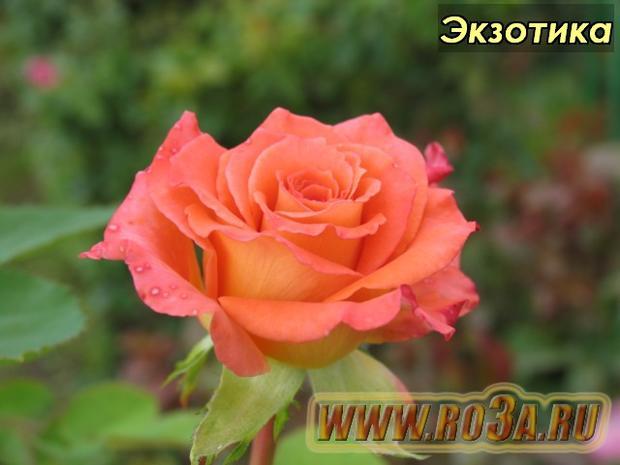 Роза Exotica Экзотика