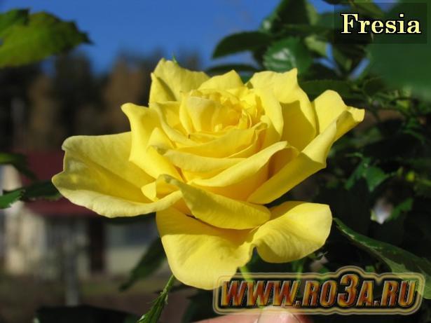 Роза Friesia Фрезия