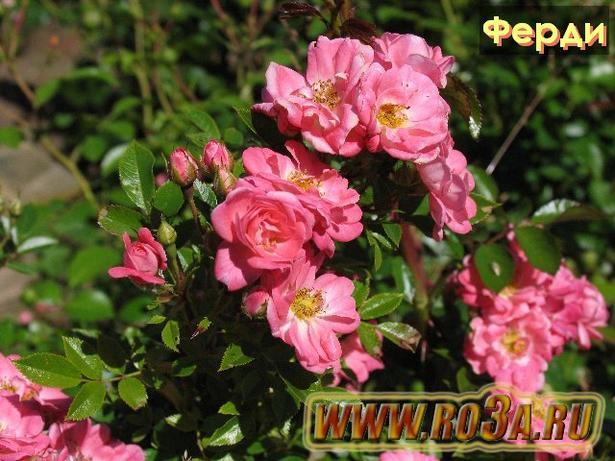 Роза Ferdy Ферди
