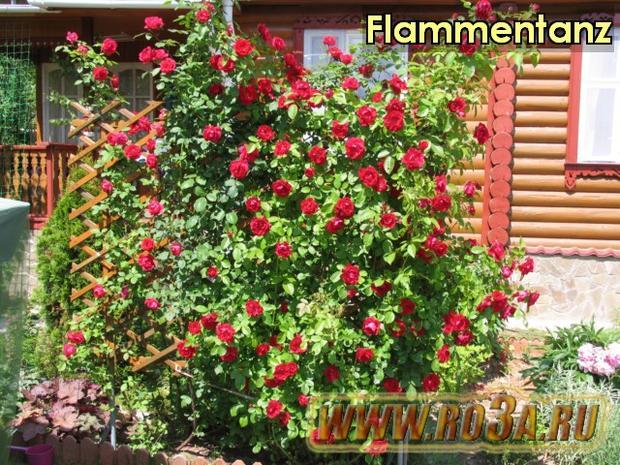 Роза Flammentanz Фламентанс
