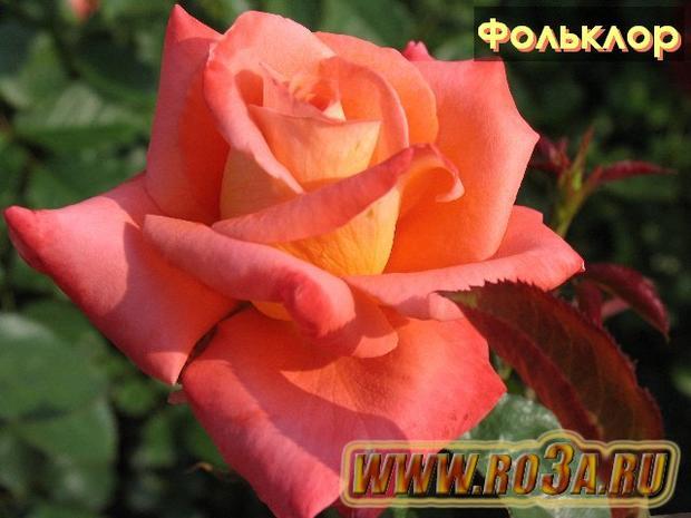 Роза Folklor Фольклор