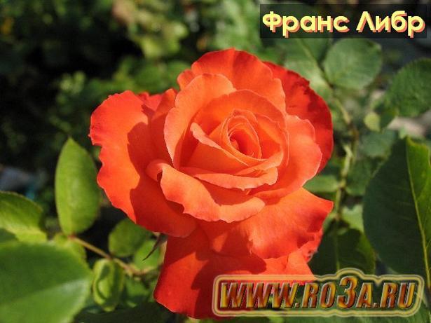 Роза France Libre Франс Либр