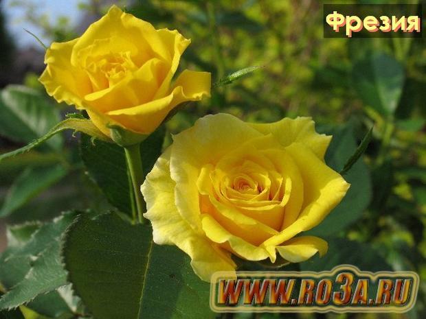 Роза Friesia Фрезия Korresia, Synsprite</li>