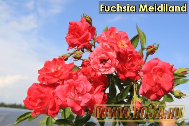 Роза Fuchsia Meidiland Фуксия Мейдиланд