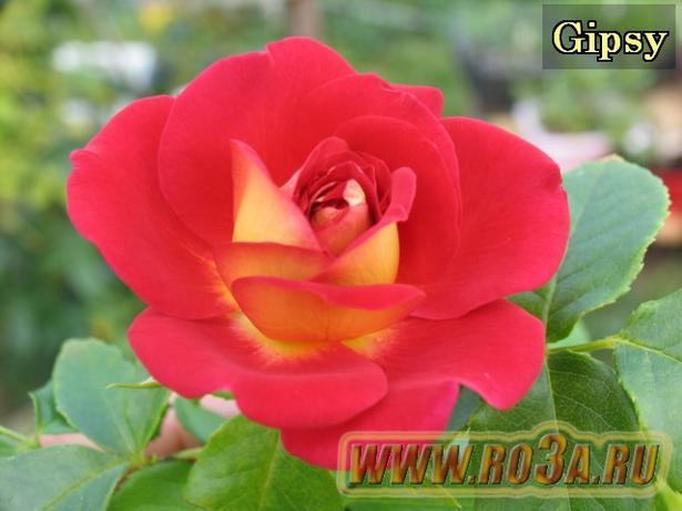 Роза Gipsy Джипси