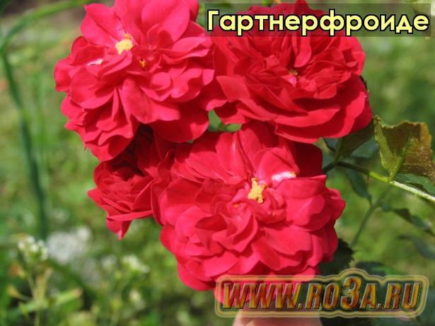 Роза Gartnerfreude Гартнерфроиде
