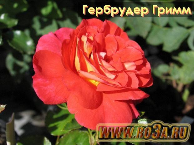 Роза Gebruder Grimm Гебрудер Гримм