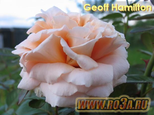 Роза Geoff Hamilton Джефф Гамильтон