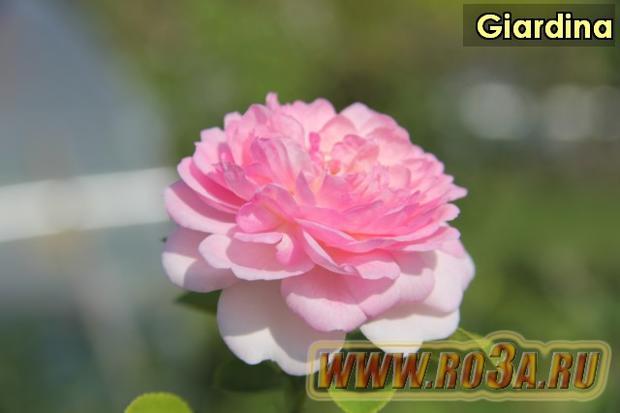 Роза Giardina Жардина