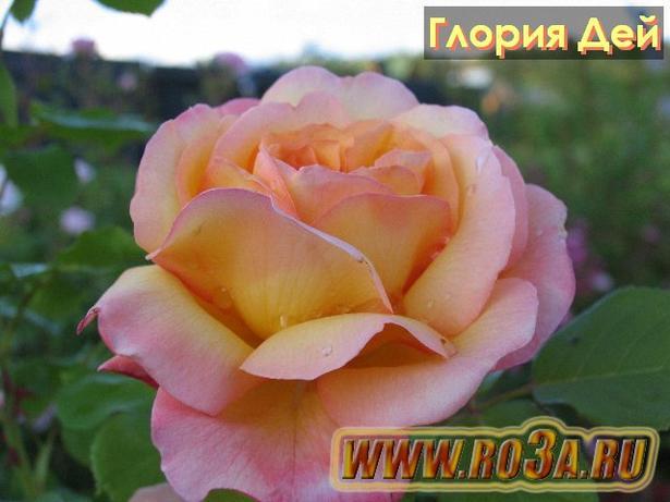 Роза Gloria Dei Глория Дей