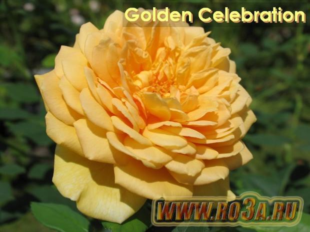 Роза Golden Celebration Голден Селебрейшн