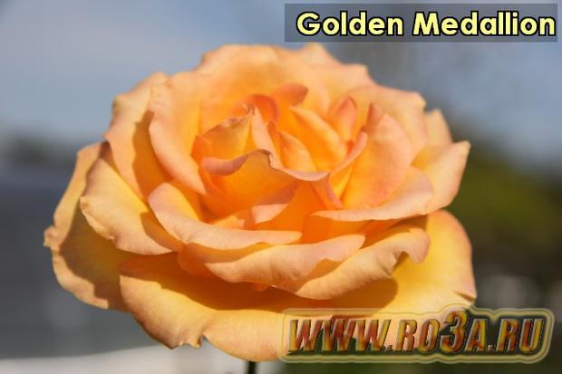 Роза Golden Medallion Голден Медальон