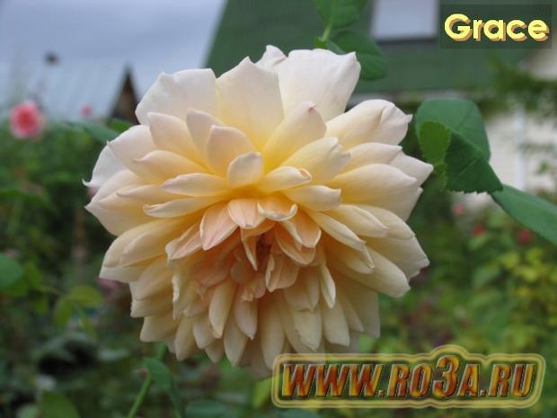 Роза Grace Грэйс