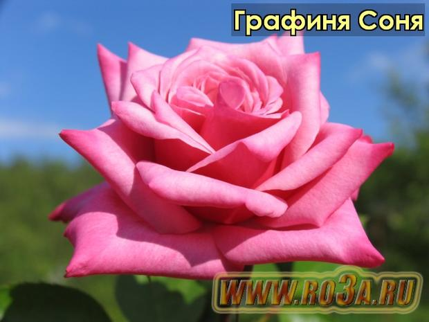 Роза Grafin Sonja Графиня Соня