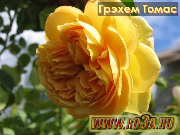 Роза Graham Thomas Грэхем Томас