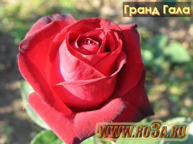 Роза Grand Gala Гранд Гала