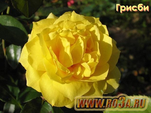 Роза Grisbi Грисби