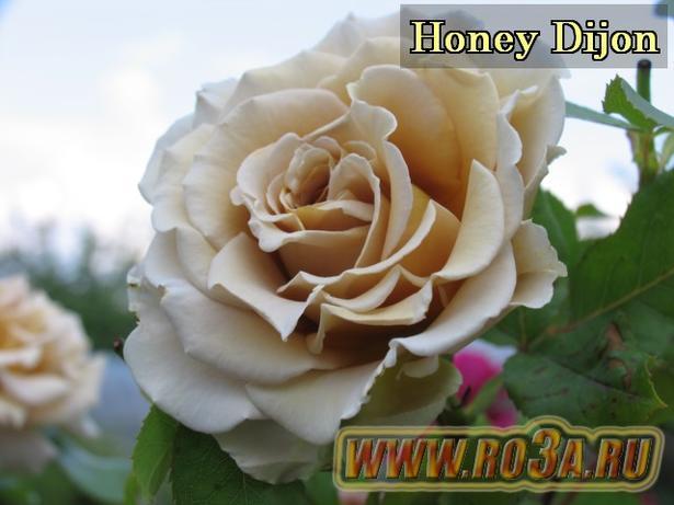 Роза Honey Dijon Хоней Дижон