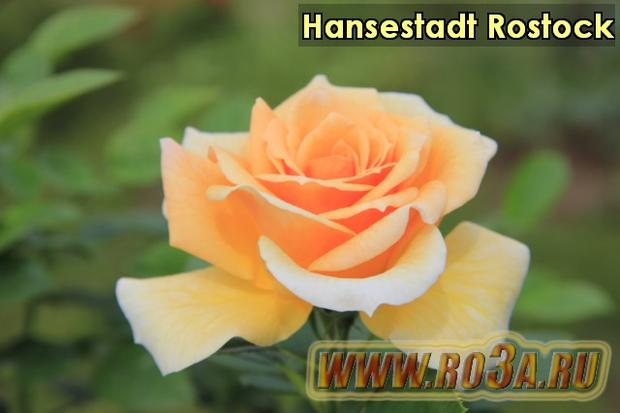 Роза Hansestadt Rostock Хансэштадт Росток